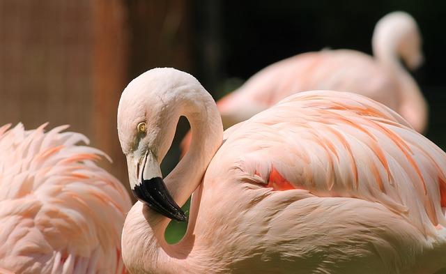 フラミンゴがピンク色をしているのは、赤色のエサと尾脂線によるメイクアップが理由だった!