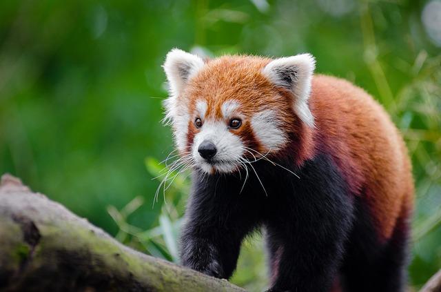 レッサーパンダの学名Ailurus fulgensは「炎色のネコ」「光るネコ」の意味