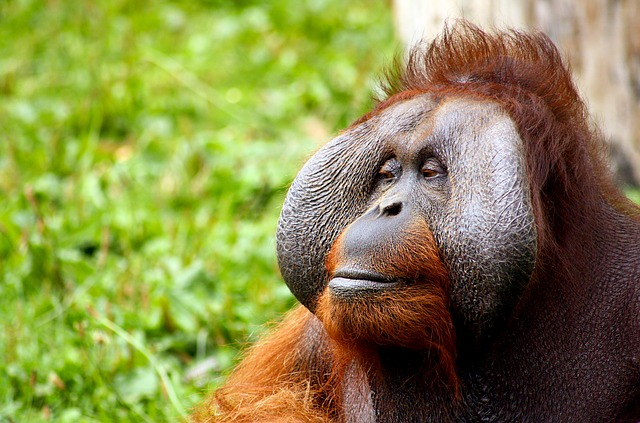 オランウータンのオスの頬のひだには「フランジ」という名前がつけられている
