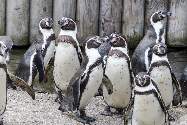 繁殖しすぎ!?国内のペンギン約2000羽のうち半分はフンボルトペンギン
