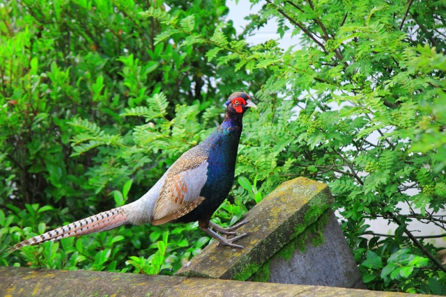 【保存版】世界の国鳥一覧
