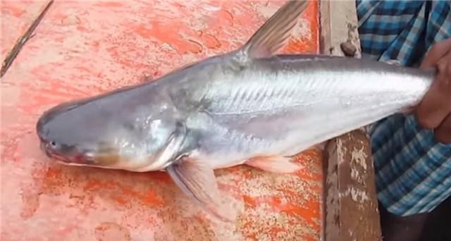 ウナギの代用魚?パンガシウスの正体は巨大ナマズだった!