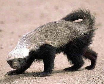 コブラの毒だってへっちゃら!ラーテルは世界一怖い物知らずの動物