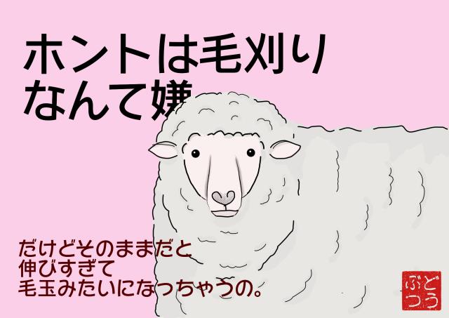 羊の毛は刈らないと一生伸び続ける