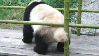 パンダの尻尾は黒じゃなくて、白色