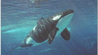 シャチの学名Orcinus orca(オルキヌス・オルカ)は「冥界からの魔物」という意味である