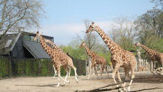 キリンの学名Giraffa camelopardalisは「速く走るヒョウ柄のラクダ」の意味
